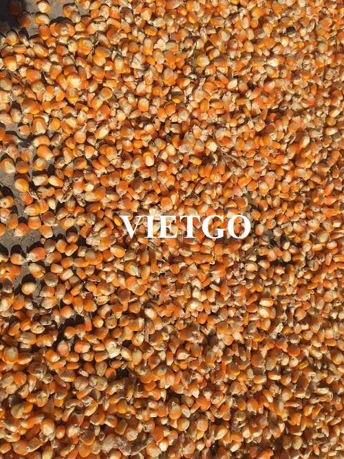 Cơ hội xuất khẩu ngô vàng sang thị trường Bangladesh