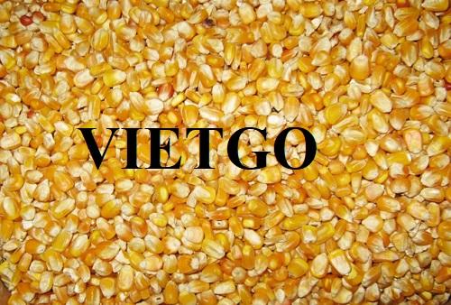 Cơ hội xuất khẩu ngô hạt cả năm sang thị trường Trung Quốc