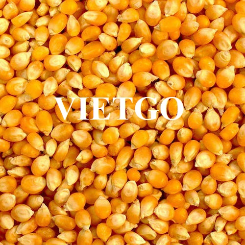 Cơ hội xuất khẩu ngô vàng sang thị trường Yemen