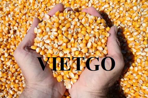 Cơ hội xuất khẩu ngô hạt sang thị trường Trung Quốc